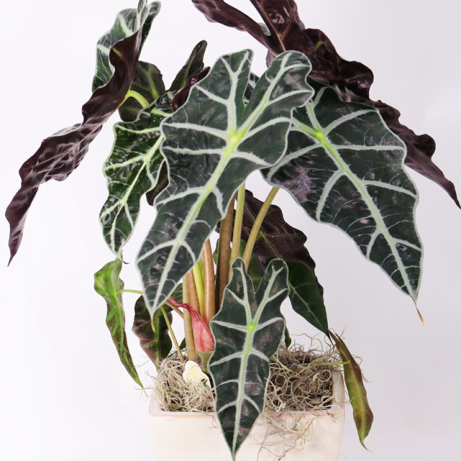 Araucaria heteropylla (Norfolk pine)